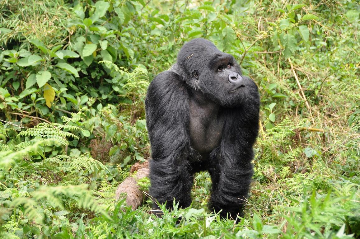 Einen Gorilla beim Gorillatrekking erleben